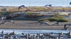 Bar-tailed godwits non-breeding plumage coming in to land