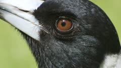 Australian magpie close-up of head