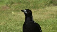 Australian magpie close-up