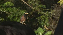 Indian myna riding on the back of a cattle beast