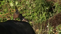 Indian myna two riding on the back of a cattle beast