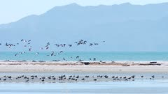 South Island pied oystercatcher flock in flight