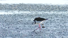 Pied stilt feeding on tidal flats at Miranda exits