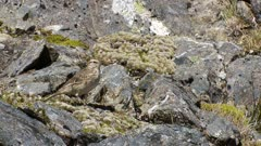 New Zealand pipit among rocks and moss in Fiordland mountains exits