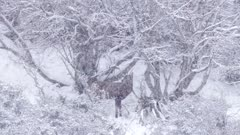 Red deer stag spike feeding on flax snow falling