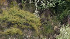 Sambar deer stag in rut rubbing antlers in thick scrub