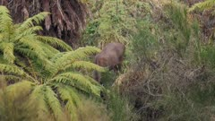 Sambar deer hind in feeding grass clearing in scrub