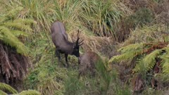 Sambar deer stag in rut with esterous hind licking vulva and watching rival