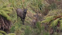 Sambar deer stag in rut with esterous hind watching rival hind wan't attention