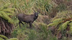 Sambar deer stag with esterous hind watching rival