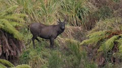 Sambar deer stag with esterous hind licking courting