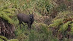 Sambar deer stag with esterous hind watching rival hind looks for attention licking courting
