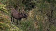 Sambar deer stag checking scent during rut