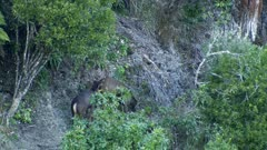 Sambar deer stag spike interacting with hind during rut hind exits