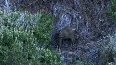 Sambar deer hind grooming dusk exits