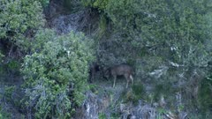 Sambar deer stag spikes sparring during rut dusk