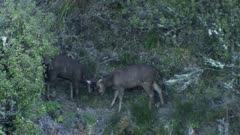 Sambar deer stag spikes sparring during rut dusk exit