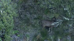 Sambar deer stag spike during rut at dusk exits