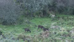 Sambar deer stags feeding out from forest edge at dusk