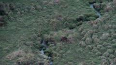 Sambar stag during rut thrashing antlers in pampas grass dusk