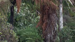Sambar stag mature feeding in thick scrub and fern dusk