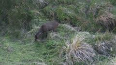 Sambar stag feeding in valley floor at dusk suddenly alert