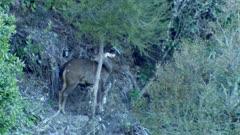 Sambar hind grooming turns around and lays down