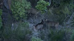 Sambar hind and spike stags interacting spikes sparring hind chases larger spike away