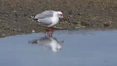 Red-billed gull pair drinking sea water both exit