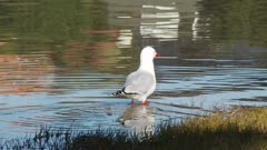 Red-billed gull hunting for food in the shallows