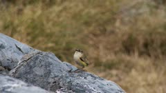 New Zealand rock wren in it's preferred habitat exits