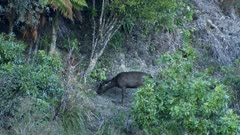 Sambar deer stag spike checking scent around preaching tree second spike enters and interacts