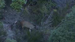 Sambar deer hind and fawn in scrub feeding at dusk