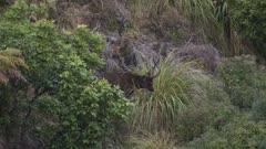Sambar deer stag velvet covered antlers one broken feeding on the leaf bases of pampas