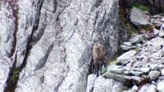 Himalayan tahr young bull feeding on bluff