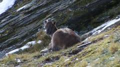 Himalayan tahr Nanny resting spots the camera