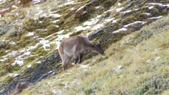 Himalayan tahr Nanny feeding in Alpine herb field