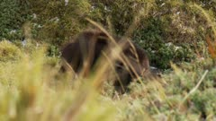Himalayan tahr mature bull feeding in Alpine herb field
