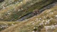 Himalayan tahr nanny in Alpine herb field scratching then walks left