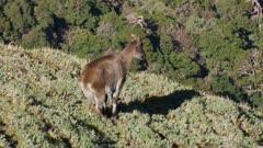 Himalayan tahr nanny in Alpine herb watching