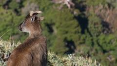 Himalayan tahr nanny in Alpine herb field watching