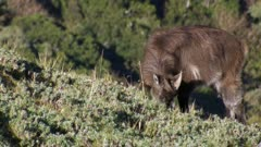 Himalayan tahr yearling feeding in alpine herd field