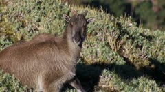 Himalayan tahr nanny bedded in Alpine herb watching camera