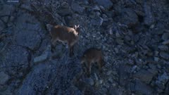 Himalayan tahr nanny and kid shaded in the rocks