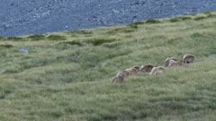 Himalayan tahr Bulls summer coat feeding in tussock grassland