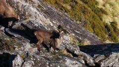 Himalayan tahr bulls in rock pile alert watching