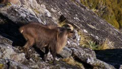 Himalayan tahr bulls in rock pile one enters and exits