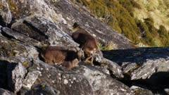 Himalayan tahr bulls in rock pile