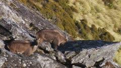 Himalayan tahr bulls in rock pile one walks onto large rock