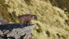 Himalayan tahr bulls in rock pile one standing on large rock